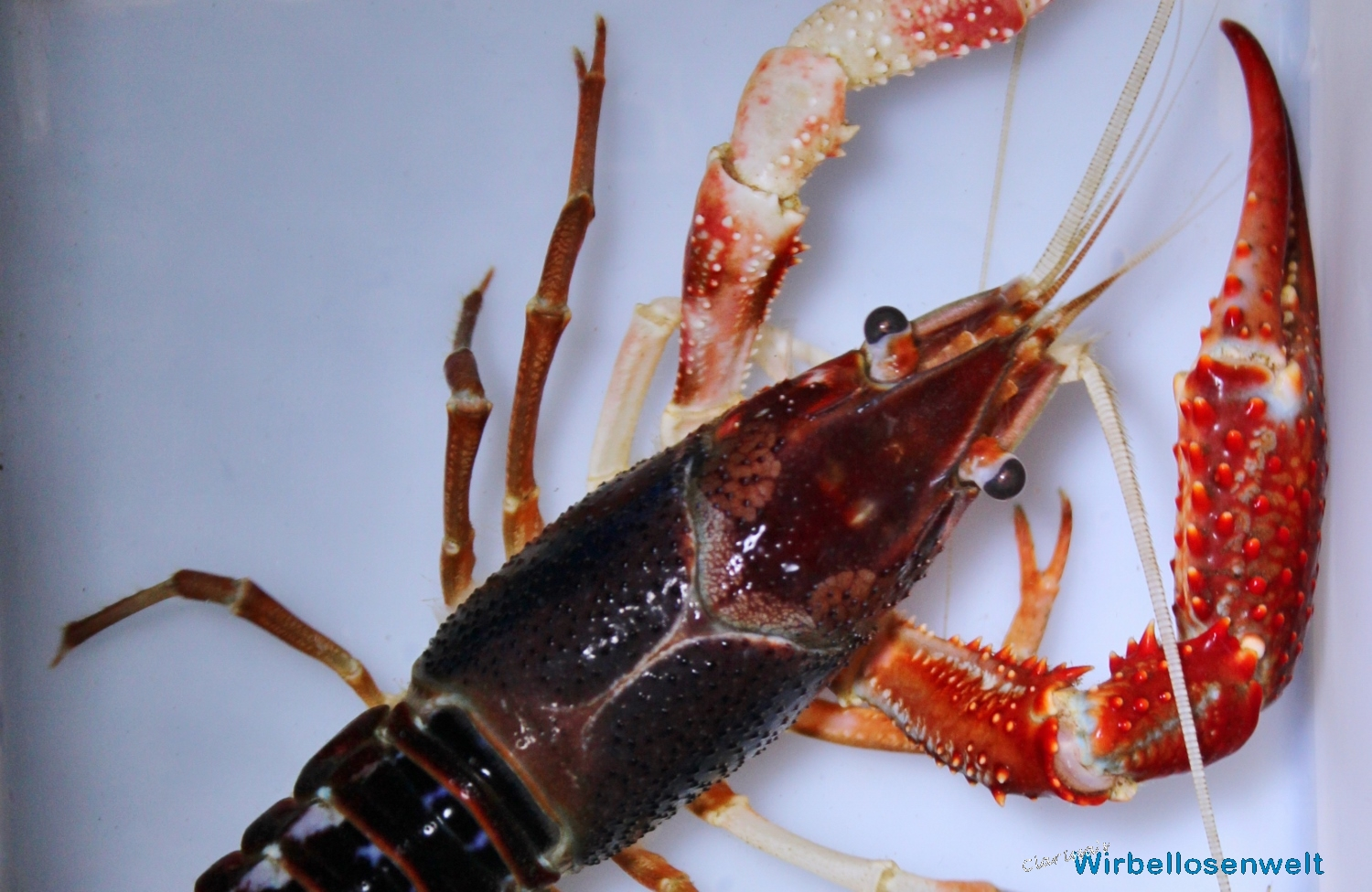 Procambarus clarkii ghost - Areola